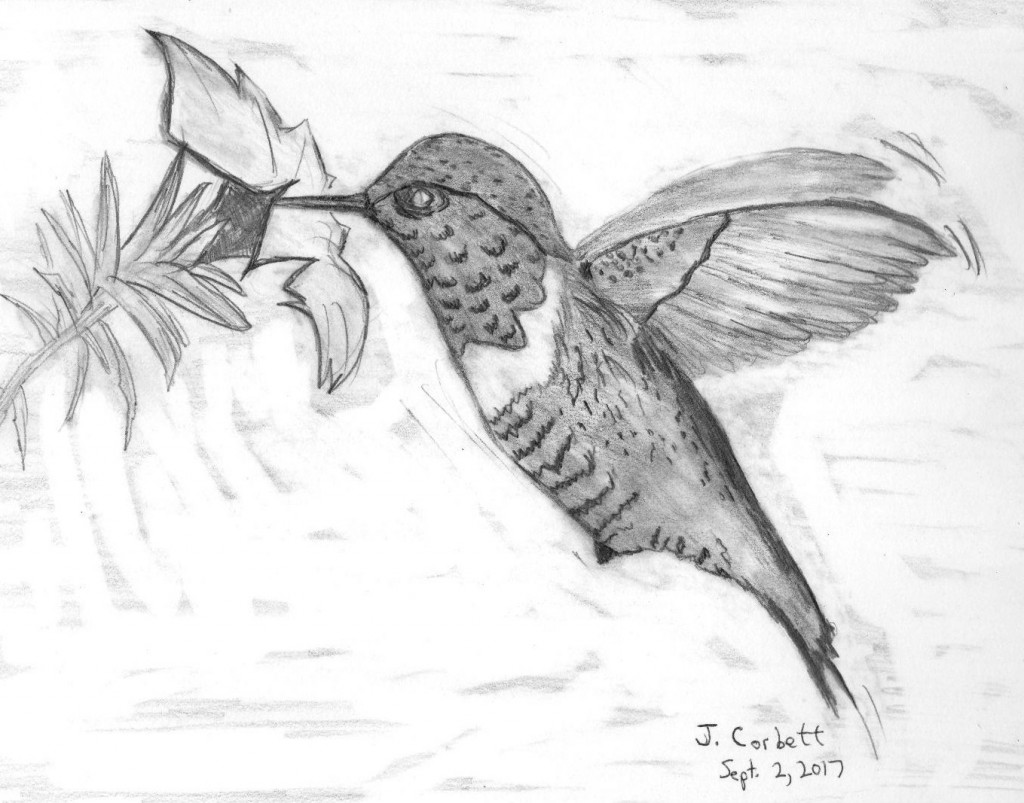 Hummingbird in pencil drawing by jim corbett doodle addicts