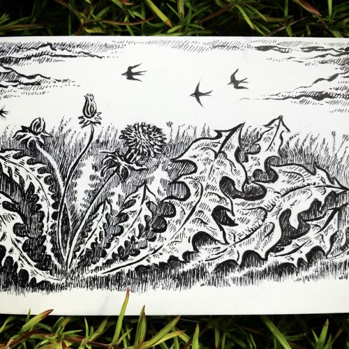 Dandelions and swallows sketch