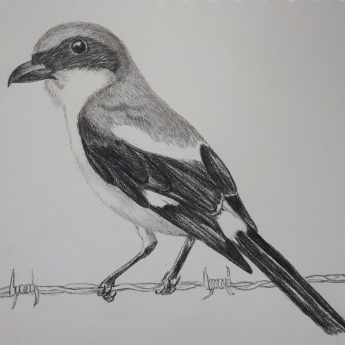 Shrike in pencil