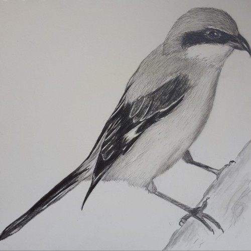 Shrike in pencil #2