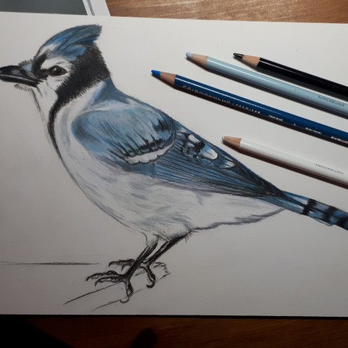 Blue Jay in color pencil