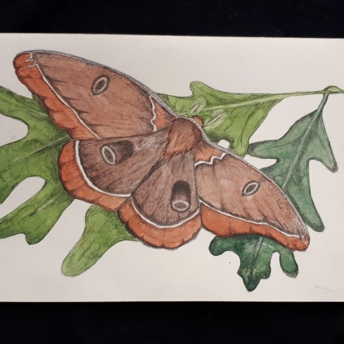 Moth in watercolor and pencil