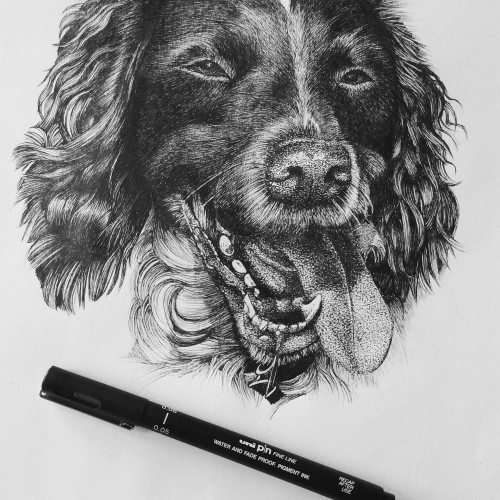 Daisy the Springer Spaniel