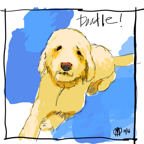Sparkles, the nicest golden doodle.