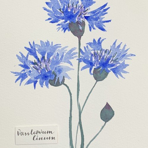 Cornflower Illustration.