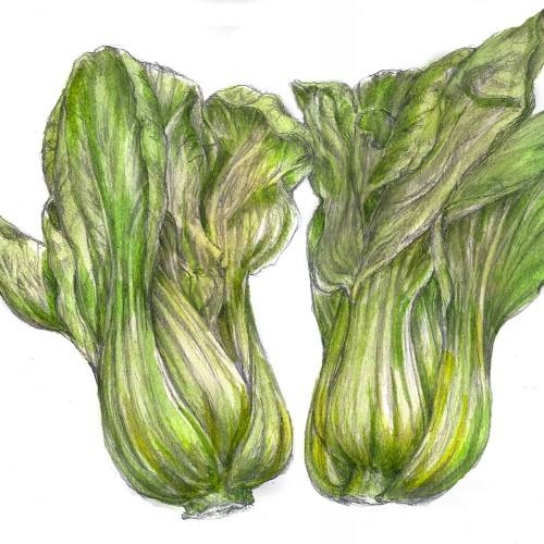 Bok Choy---Drawing Prompt from the fridge