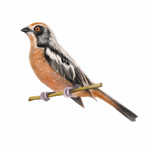 The rufous-tailed plantcutter