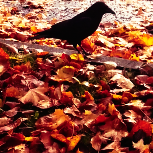 Autumn Jack Crow-Photography.