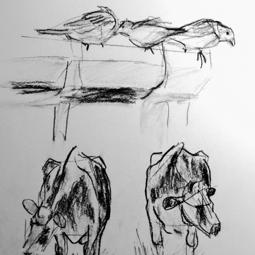 Cows and birds quick sketches